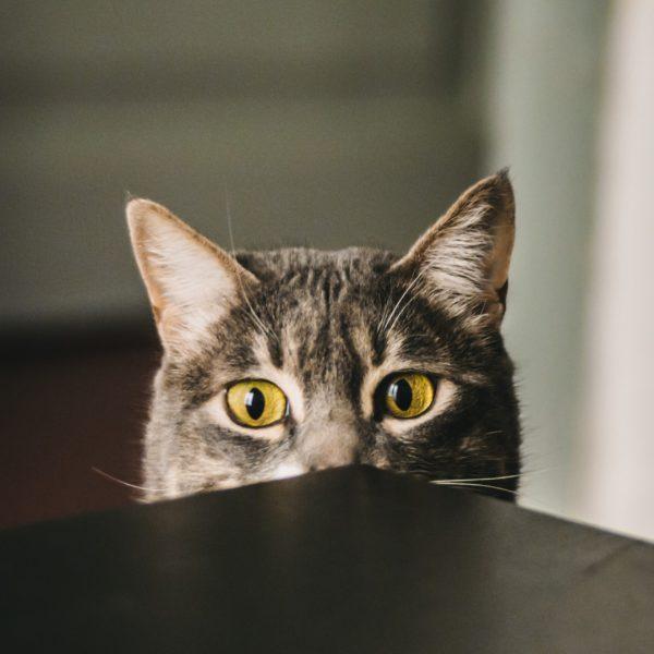 Chat gris yeux jaunes regard profond Mon vet à la maison