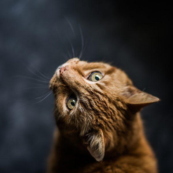 Chat marron regard méfiant Mon vet à la maison